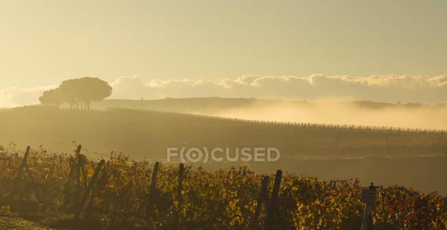 Італія, Тоскана, Валь d'Orcia, краєвид з виноградника в ранковий туман — стокове фото