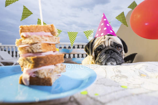 Pug wearing party hat at table with sandwich — Stock Photo