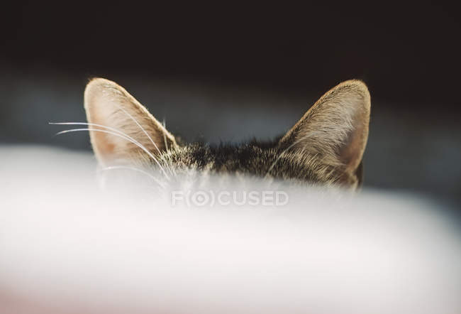 Close-up of cat ears on dark background — Stock Photo