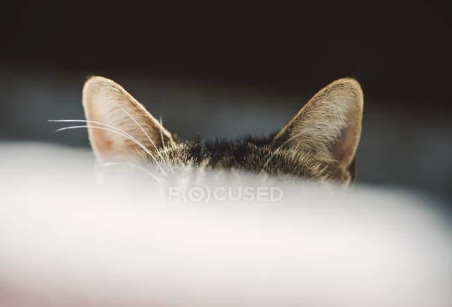 Close-up de orelhas de gato no fundo escuro — Fotografia de Stock