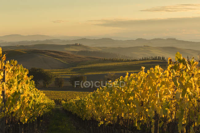 Itália, Toscana, Val d 'Orcia, paisagem ondulante com vinha — Fotografia de Stock