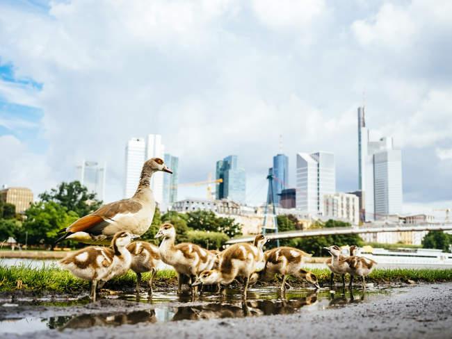 Німеччина, Франкфурт, гусака сім'ї перед горизонт — стокове фото