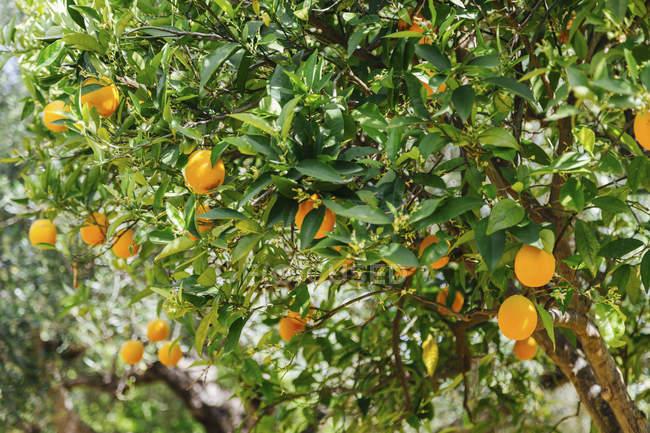 Grèce, Crète, Oranger pendant la journée — Photo de stock