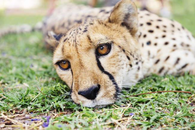Намибия, Каманжаб, гепард, лежа на траве — стоковое фото