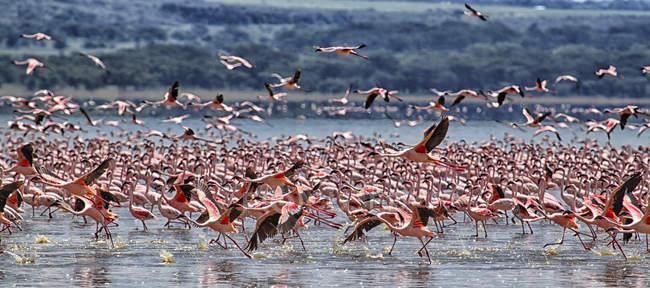 Kenya, Great Rift Valley, lac Nakuru, flamants roses et vue panoramique sur le paysage naturel — Photo de stock