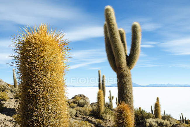 Atacama, Altiplano, Salar de Uyuni, Bolivien, Kakteen auf Insel Incahuasi — Stockfoto
