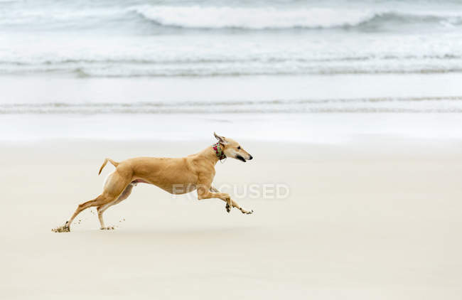 Greyhound running on the beach, Llanes, Spain — Stock Photo