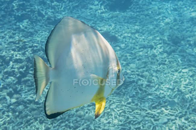 Bate orbicular en el agua, Platax orbicularis - foto de stock