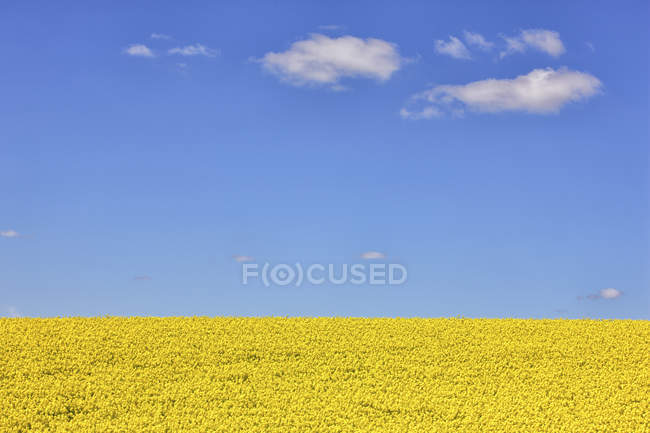 Rape field in Guadalajara — Stock Photo