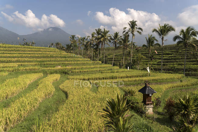 Bali, Jatiluwih, rice terraces during daytime — food and