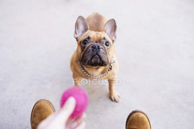 Portrait of French bulldog looking up — Stock Photo
