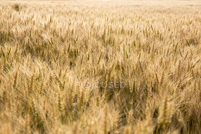 Campo di grano sotto il sole — Foto stock