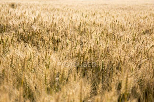 Weizenfeld bei strahlendem Sonnenschein — Stockfoto