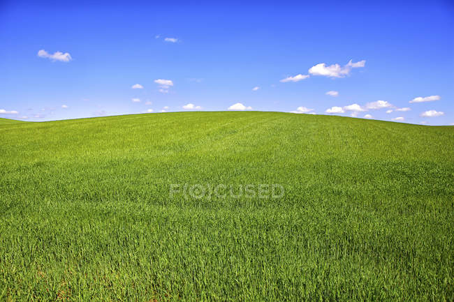 Cereal crop field in spring — Stock Photo