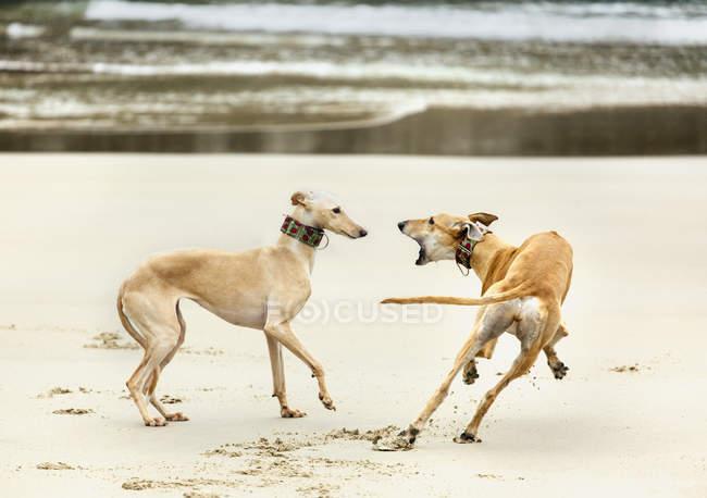 Две бордовые, играющие на пляже, Льянес, Испания — стоковое фото
