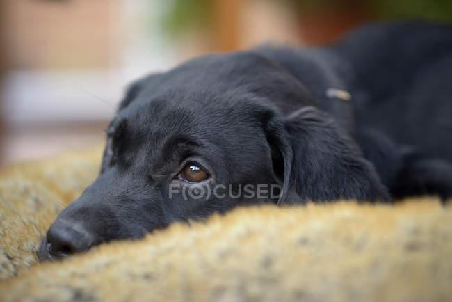 Preto cachorro Labrador deitado no cobertor — Fotografia de Stock