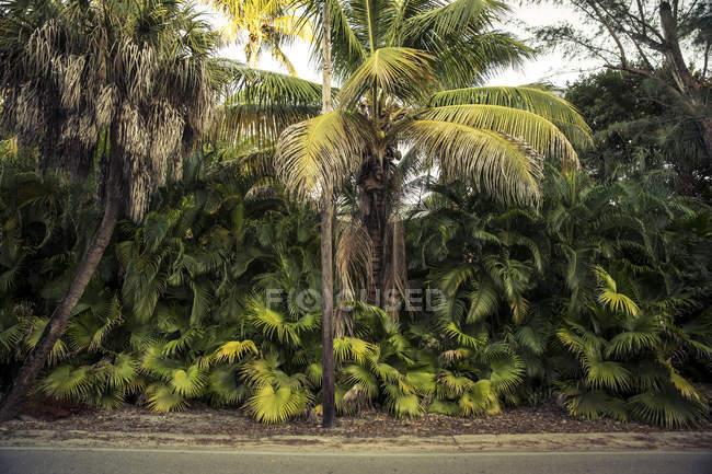 Palmeiras verde na beira da estrada — Fotografia de Stock