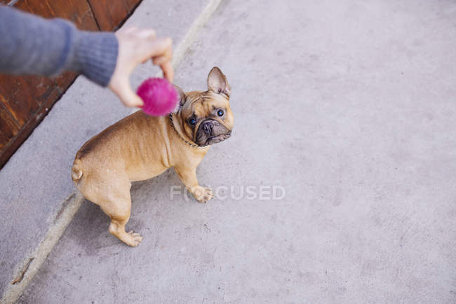 French bulldog looking up to ball held by owner — Stock Photo