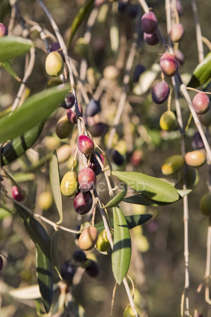 Closeup of fresh olives on tree — Stock Photo