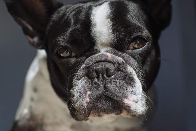Портрет французского бульдога, смотрящего в камеру — стоковое фото