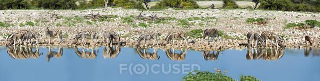 Namibia, Etosha National Park, Herd of zebras on lake shore — Stock Photo