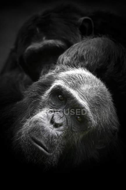 Kenya, portrait of Common chimpanzee — Stock Photo