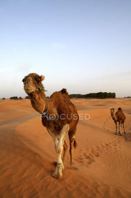 Туніс, dromedaries у сутінках, в пустелі Сахара — стокове фото