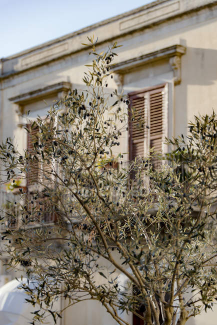 Olive tree and old house — Stock Photo