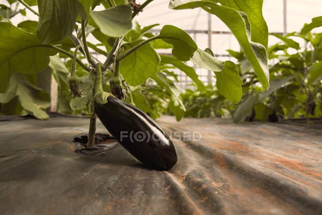 Auberginen auf Pflanze wächst — Stockfoto