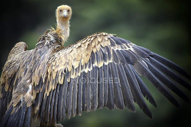 Buitre leonado, gyps fulvus, extendió las alas, mirando a cámara - foto de stock