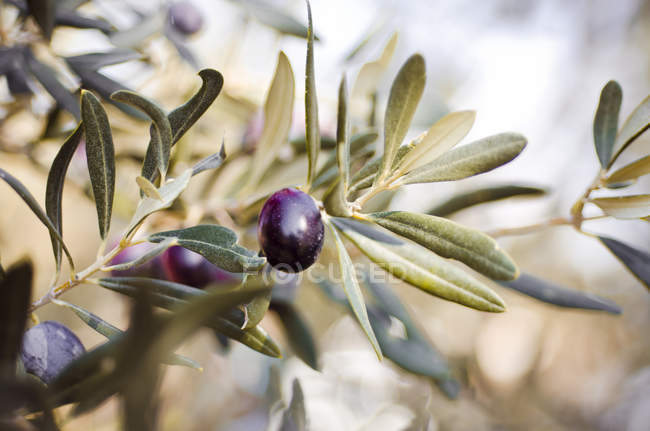 Twig of olive tree with ripe fruits, Foca, Turkey — Stock Photo