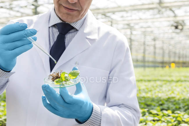 Scientist in greenhouse pipetting plant in petri dish — Stock Photo