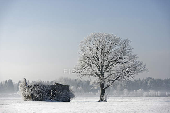 Germany, Bavaria, frost-covered tree besides decayed barn — Stock Photo