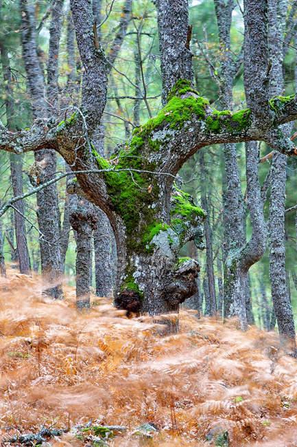 Испания, Avila, Autumn в лесу El Femblo, движущиеся папоротники — стоковое фото