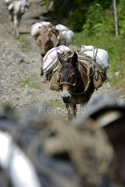 Колумбия, тяжелые нагруженные мулы — стоковое фото