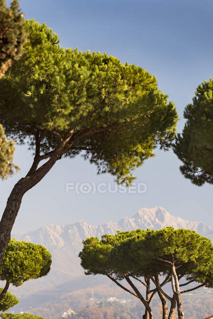Italy, Liguria, Pine trees, Pinus pinea and mount on background  during daytime — Stock Photo