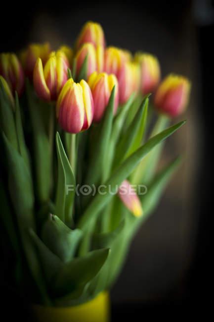 Bunch of fresh cut tulips on dark background — Stock Photo