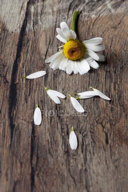 Маргарита, залишаючи пелюстки дерев'яний стіл — стокове фото