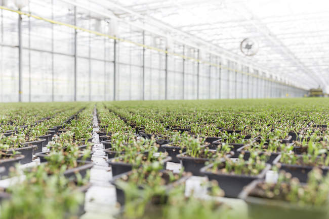 Herbal plants growing in greenhouse — Stock Photo