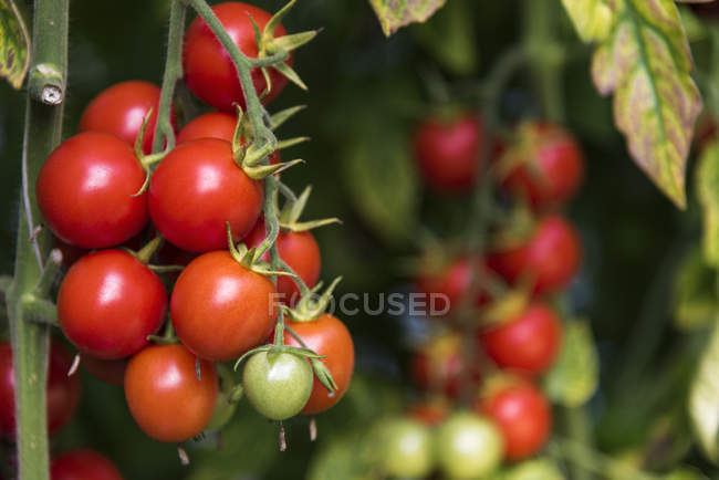 Помідори ростуть на завод — стокове фото