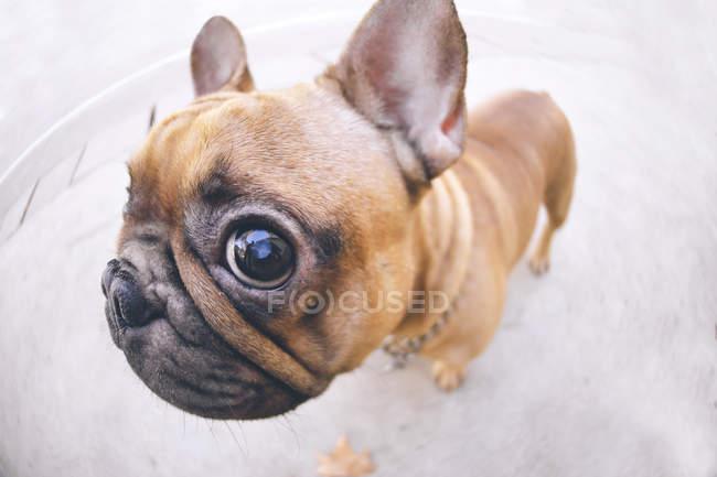 Lustige Porträt von französische Bulldogge — Stockfoto