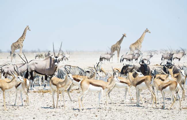 Animali selvatici ad un waterhole, Parco nazionale di Etosha, Namibia — Foto stock