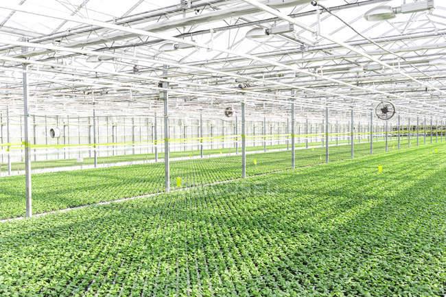 Vista de plantas hierbas que crecen en invernadero - foto de stock