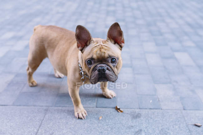 French bulldog standing on pavement and looking at camera — Stock Photo