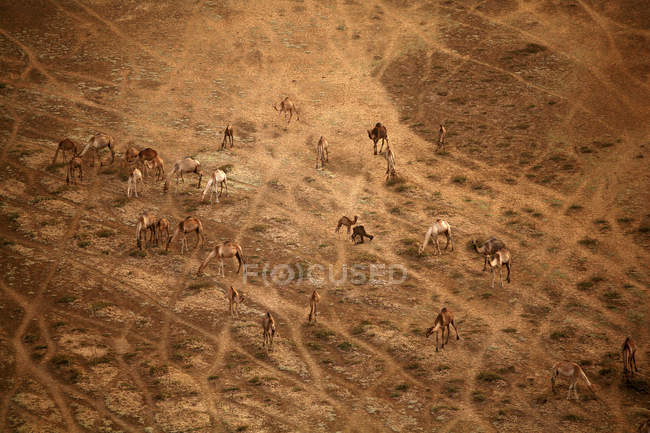 Chad, Zakouma National Park, Aerial view of camels in savannah — Stock Photo
