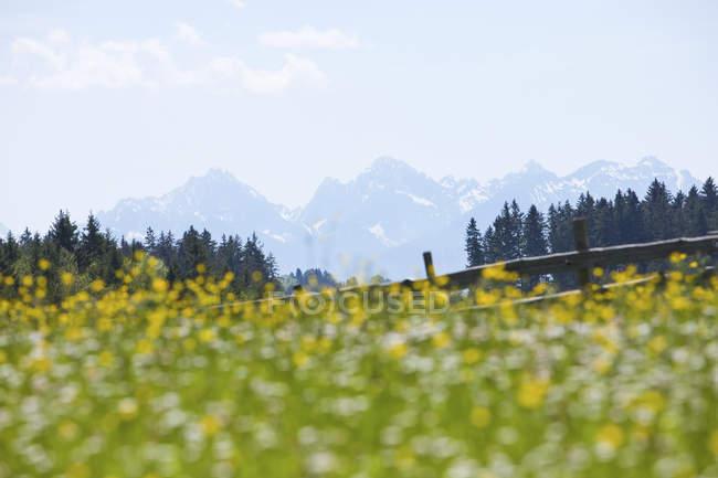 Allemagne, Munich, Alpes bavaroises, pré de fleurs et montagnes en arrière-plan — Photo de stock