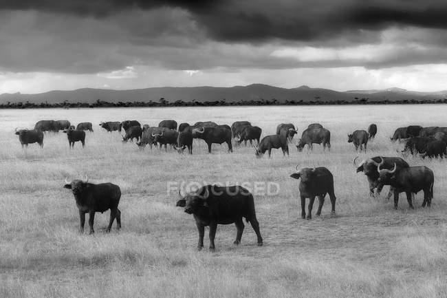 Kenia, großes Rift Valley, Lake Nakuru Nationalpark, Kapbüffelherde — Stockfoto