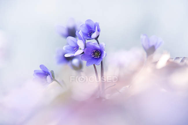 Liverworts flower, Hepatica nobilis on blurred background — Stock Photo