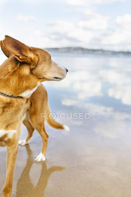Close-up de Mongrel em pé na praia de areia — Fotografia de Stock