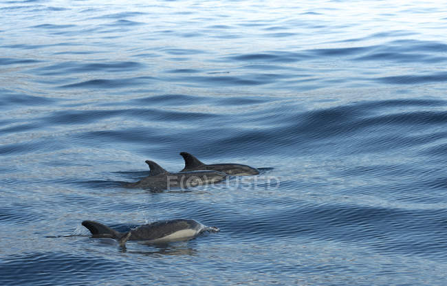 Madeira, dolphins side by side in sea water — Stock Photo
